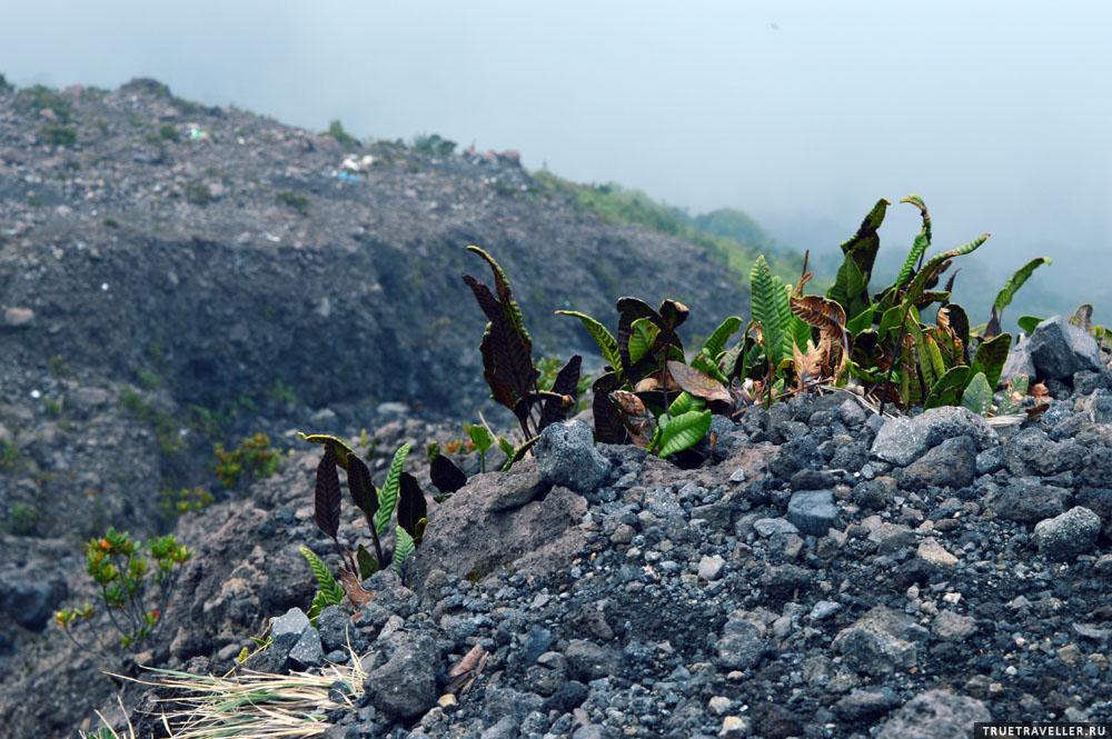 вулканическая растительность