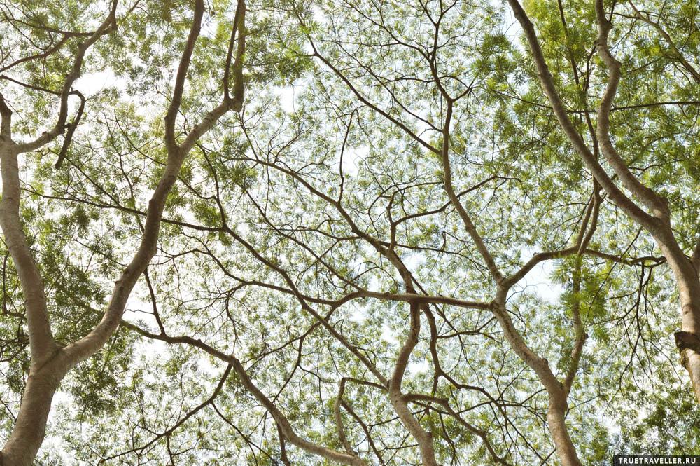 Узоры деревьев Борнео.