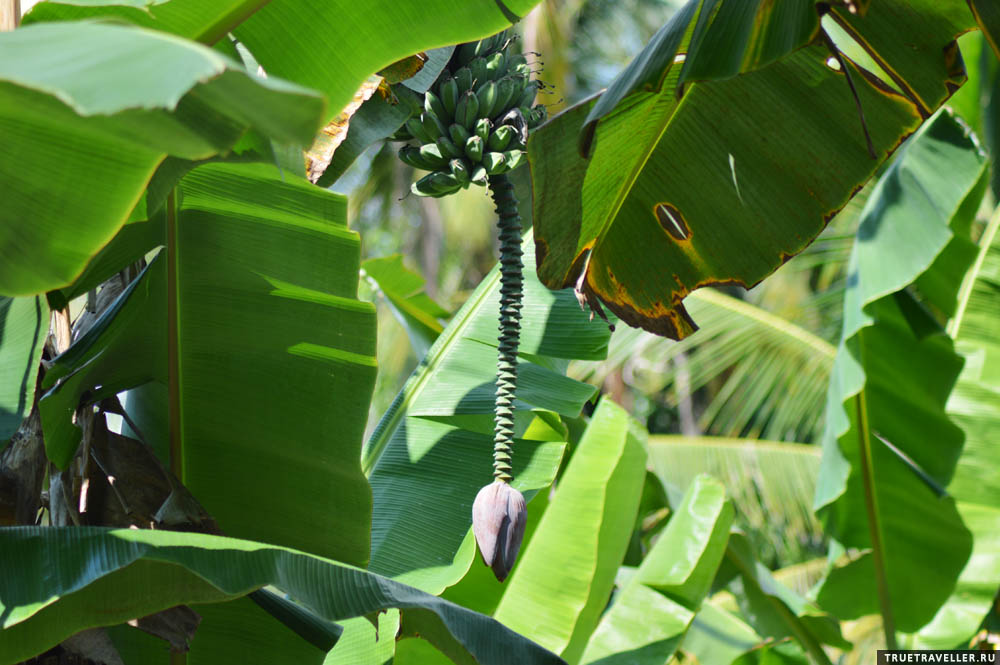 Так цветут бананы.