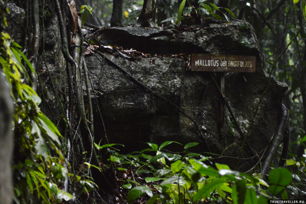 Дремучие влажные джунгли острова Борнео.