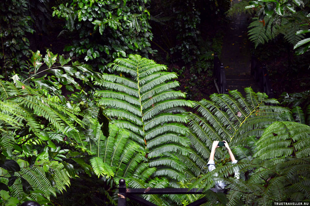 Гиганты леса Борнео.