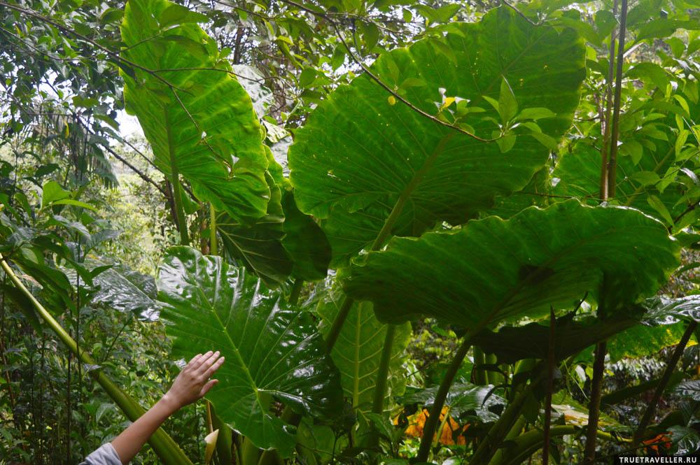 Гиганты экваториальных лесов.