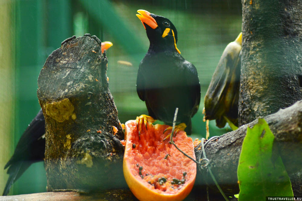 Скворцы любят папайю.
